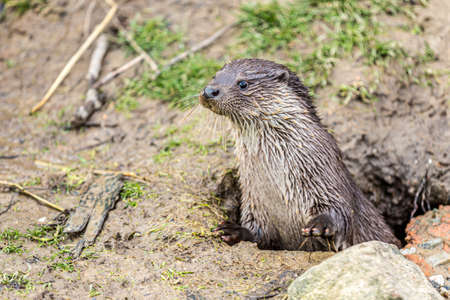 Eurasian otter or common otter emerging from the ground through a hole with an alert look in a nature reserve, semi-aquatic mammal with a brown fur above and cream below