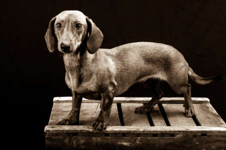Short haired dachshund standing on a wooden box in a photo studio with a black background, looking intently at the camera. Black and white photography