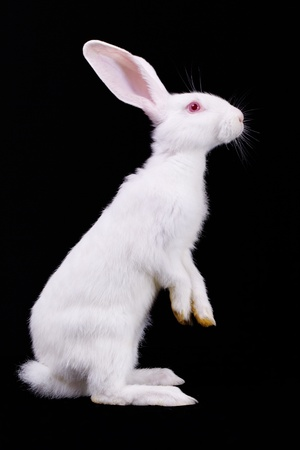 bunny ears: White rabbit standing on its hind legs  Side view  Black background Stock Photo