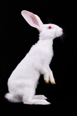 wit konijn: Wit konijn staande op zijn achterpoten Side te bekijken Zwarte achtergrond Stockfoto
