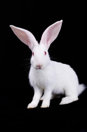 wit konijn: White Rabbit zit. Grote oren. Zwarte achtergrond