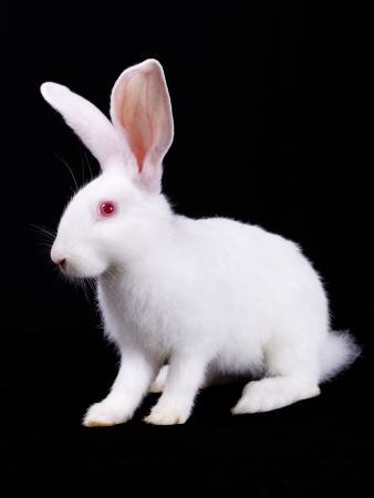 coward: White Rabbit, a small, fluffy. Black background