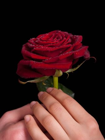 red rose with dew drops are kept in the hands of a man and a woman  on a black background photo