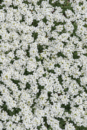 veronica flower: carpet of white flowers veronica, close-up