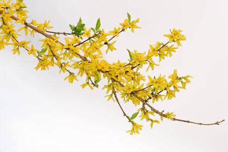 argousier: Floraison branche de l'argousier contre le ciel lumineux