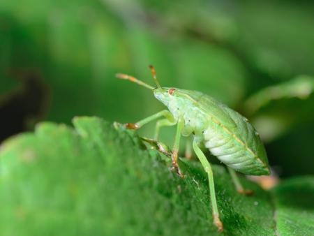 shieldbug: Palomena prasina Common Green Shieldbug
