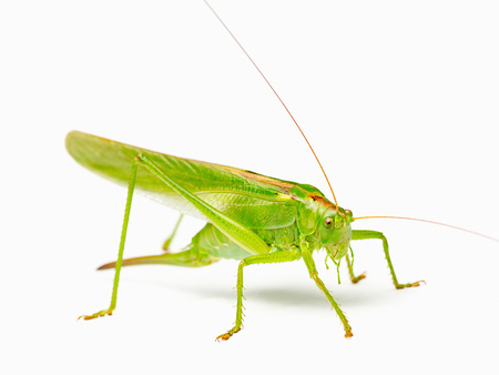 grasshoppers: large yellow-green grasshoppers with big whiskers on a white background