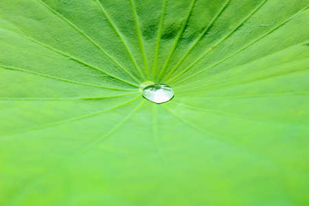ordinate: Water drop on the green lotus leaf in the morning Stock Photo