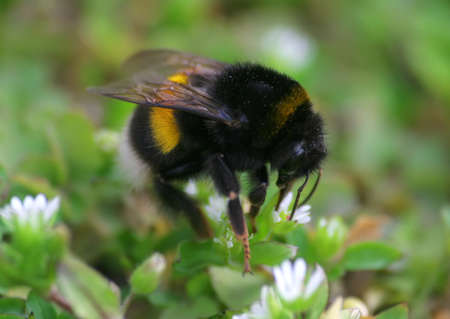 Bumblebee on the white flowers.