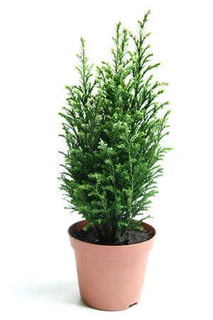 Bush of juniper in the pot isolated on white  Фото со стока