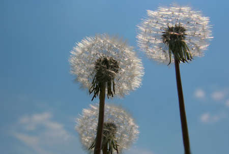 White dandelions on sky background. photo