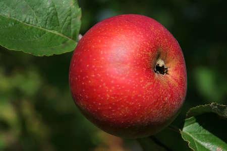 reg: Reg apple on the branch