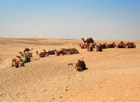 Many camels in the desert