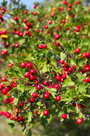 Hawthorn berry on the bush Фото со стока