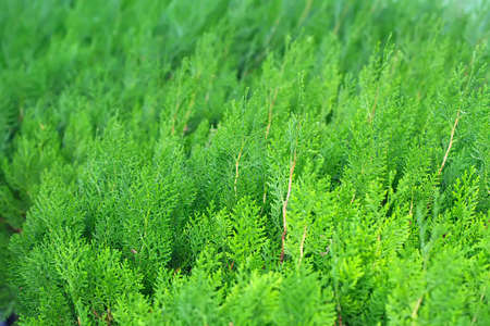 Evergreen thuja close up photo photo