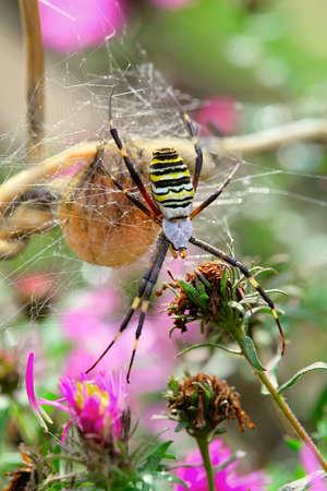 argiope: Argiope spider in the web Stock Photo