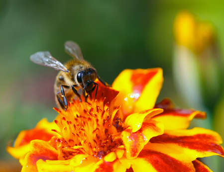 calceolaria: Small bee on the flower