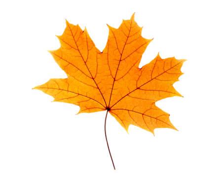 maple leaf: Maple leaf isolated on white Stock Photo