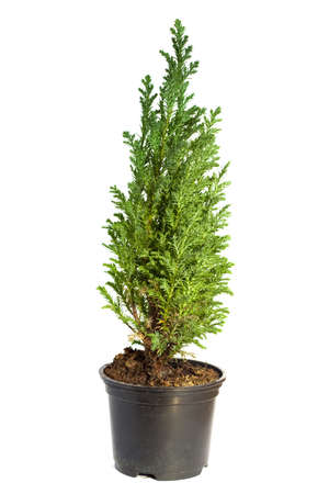 Young cypress isolated on white Фото со стока