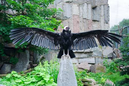 bald ugly: Andean condor in the Moscow Zoo