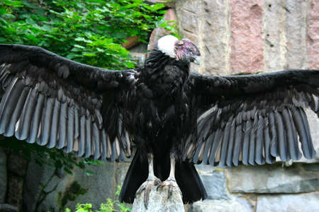 Andean condor in the Moscow Zoo Stock Photo - 16029097
