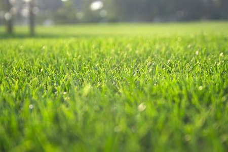 blade of grass: Green grass of golf field Stock Photo