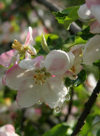 Flowers of apple with water drops  photo