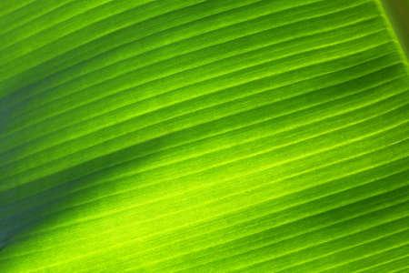 Banana leaf closeup wallpaper texture photo
