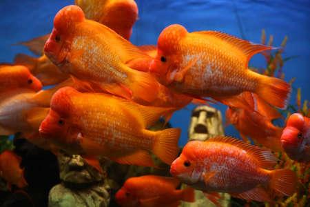 peacock cichlid: Flower horn fish in aquarium