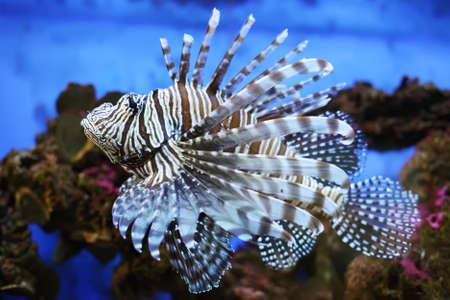 turkeyfish: Lionfish in the aquarium Stock Photo