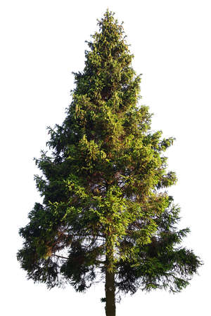 pine green: Fir tree isolated on white Stock Photo