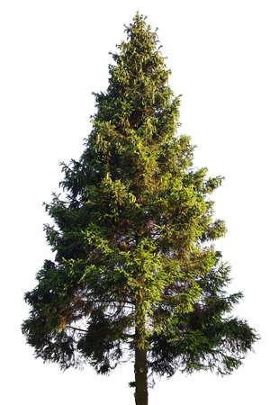 arbre: Sapin isolé sur fond blanc Banque d'images