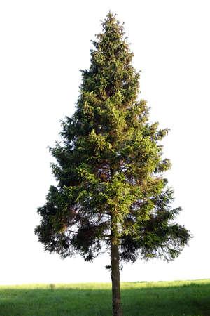 Fir tree isolated on white Фото со стока