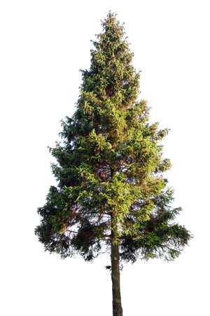 Fir tree isolated on white 版權商用圖片
