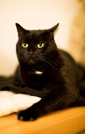 Black cat with mystic black eyes lying attentively on the flour