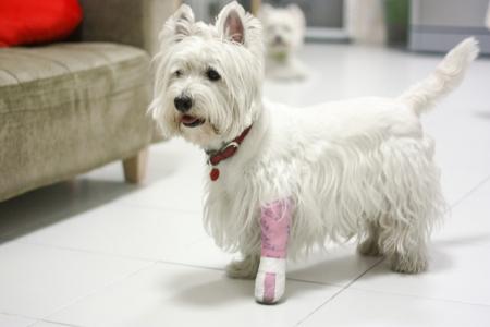 white dog: broken leg dog with splint Stock Photo