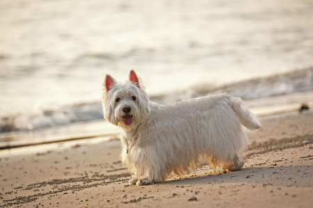 white dog: lovely westie dog on the beach