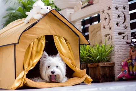 cute westie: cute westie dog yawning in the house