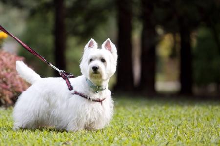 white dog: smart westie dos on leash