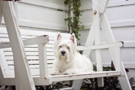white dog: lovely westie dog sit on the swing