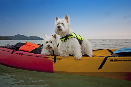 cute westie: two cute West Highland White Terrier dogs on kayak boat Stock Photo