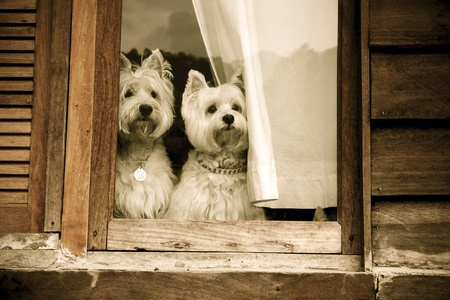white dog: Cute west highland white terrier dogs waiting for their owner