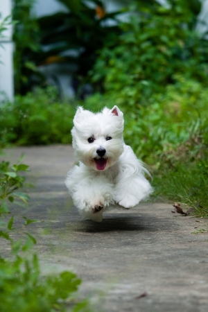 white dog: cute westie dog run at the park Stock Photo