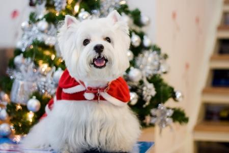 cute westie: cute westie dog in santa claus suit