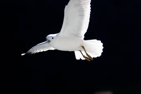 Seagull bird flying free in fjord Norway photo