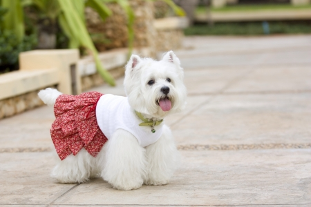 white dog: lovely west highland white terrier dog with cute dress