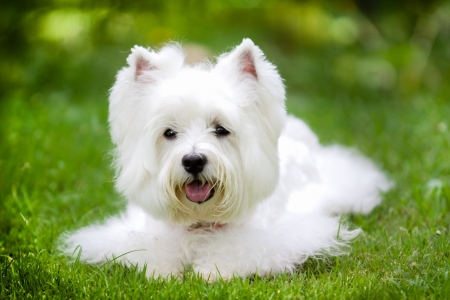 white dog: cute and fluffy westie dog at backyard