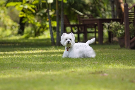cute westie: cute westie stand on the green grass Stock Photo