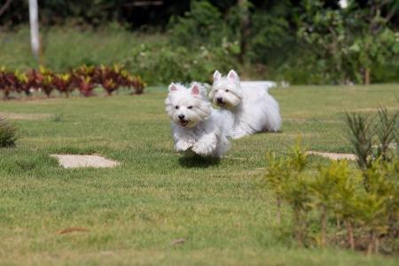 white dog: Westie dog running at backyard