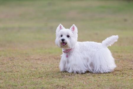 cute westie: westie dog on the green grass